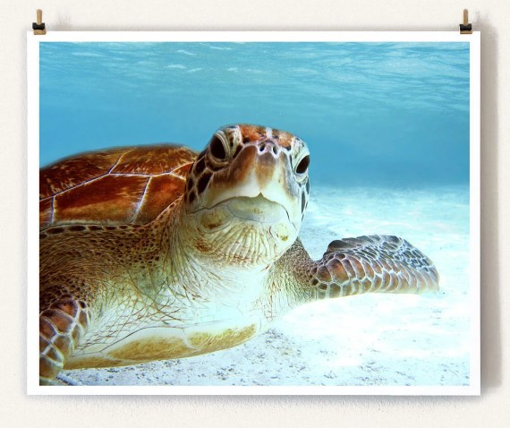 Closeup Portrait of a Green Sea Turtle - Endangered Sea Turtle Underwater Photography Collection - Decorative Wall Art - Blue wall decor - IslandPrintShop