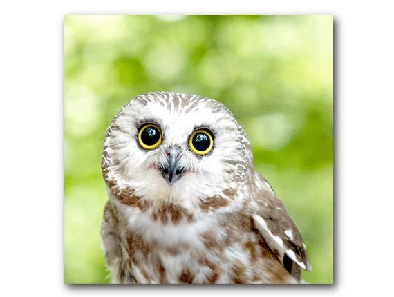 Cute Owl photo woodland animal saw whet owl nature