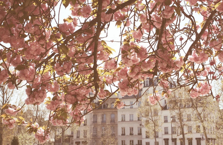 Paris Photography - Spring by the Seine - Pink Cherry Blossoms  - Paris Art - Photograph - Paris Home Decor - Blush Pink - rebeccaplotnick