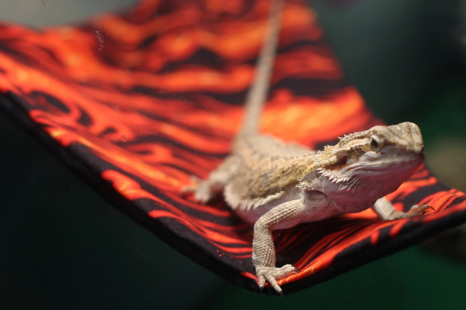 Ready To Ship The Lizard Lounge Reptile Hammock By
