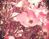 Wild Roses, Summer, Square, Pink, Bright, Nature, Soft, Dreamy, Flower, tan, Spring, Bloom