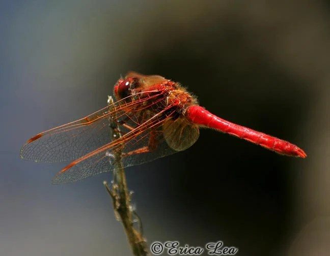 Red Dragonfly Photo, nature photography, rustic wall decor, macro insect print, 5x7 8x10 11x14 fine art photography - SightToSoul