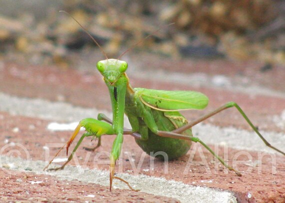 Funny Praying Mantis Card With Birthday Message Or Blank