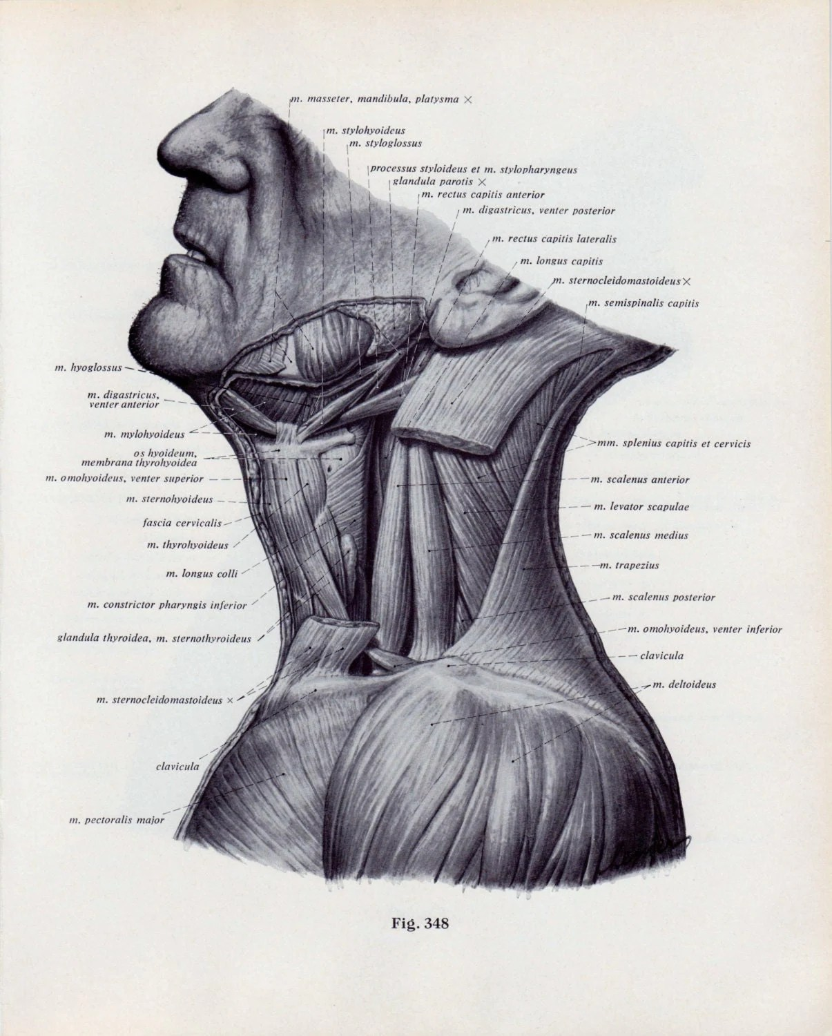 Vintage Medical Page Human Body Diagram Head Face Neck Muscles