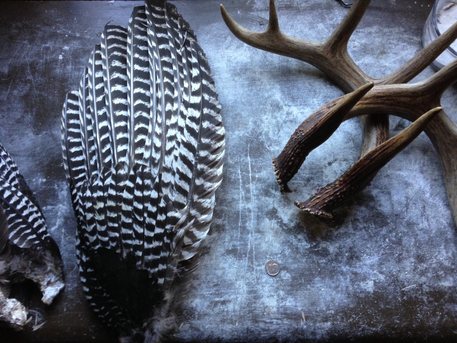 Wild Turkey Wing Primary Flight Feathers Free Shipping
