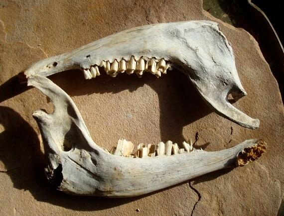 Deer Lower Jaw Bone Art