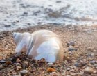 Seashell Photograph (No. 3) Beach Photography, Shell Photo, Seashell Photography, Ocean Decor, Coastal Wall Decor, Nautical Home Decor