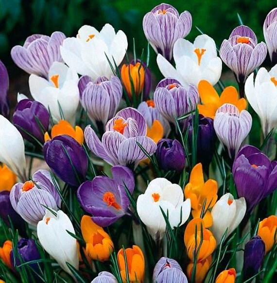 10 Saffron Crocus Flower Seeds Bulb Potted by TweeFancyRose