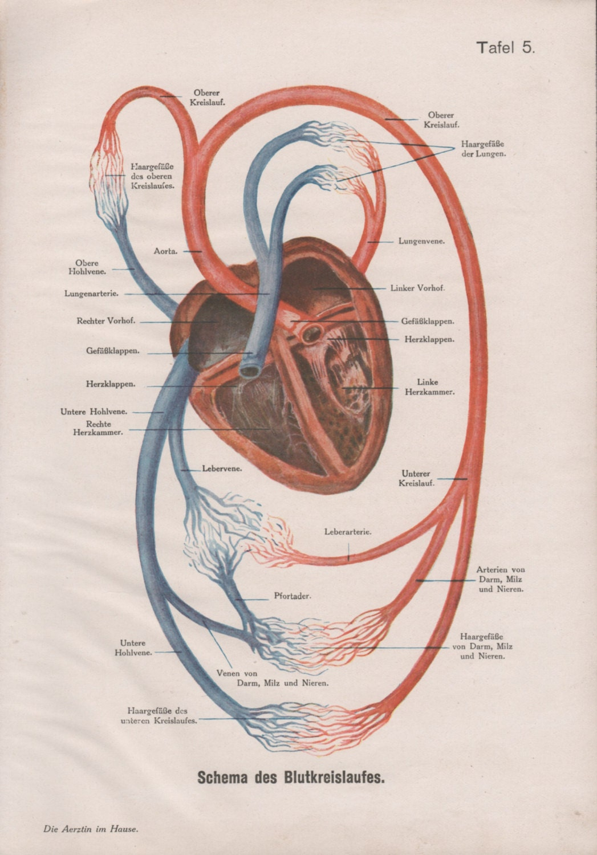 Human Heart Anatomy Print Circulatory System Old