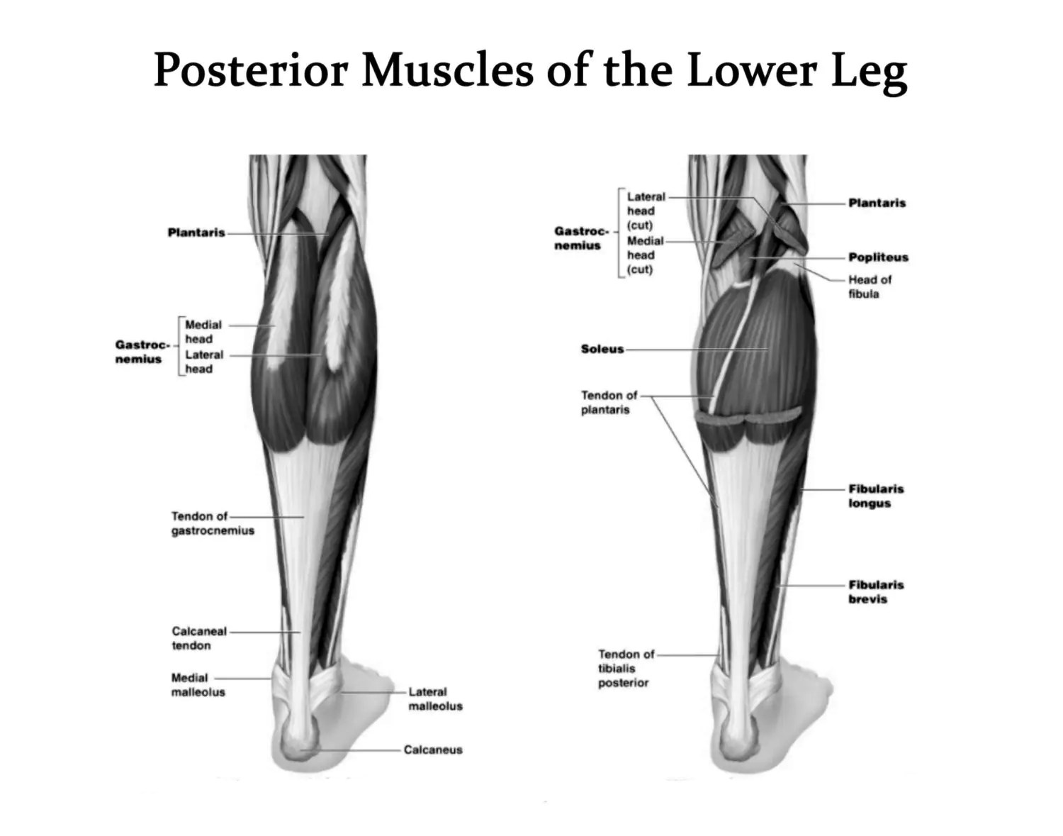 Muscles Of The Lower Leg Posterior View