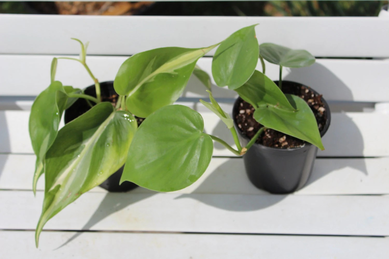 Green Vine Houseplant