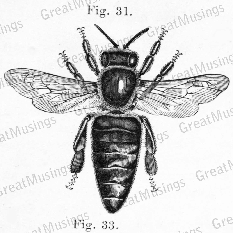 Vintage Bee Diagram Black And White Digital Illustration Image