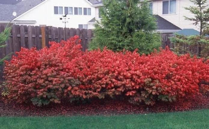 10 burning bush hardy shrub plants bare root euonymus on Burning Bush Plant id=84493