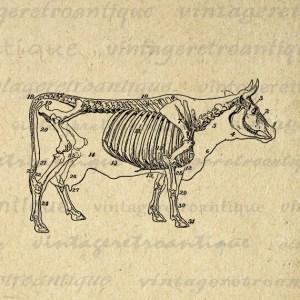 Cow Skeleton Diagram Printable Image Download Digital Graphic