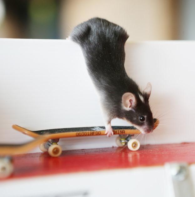 Австралиец научил грызунов кататься на досках— фото