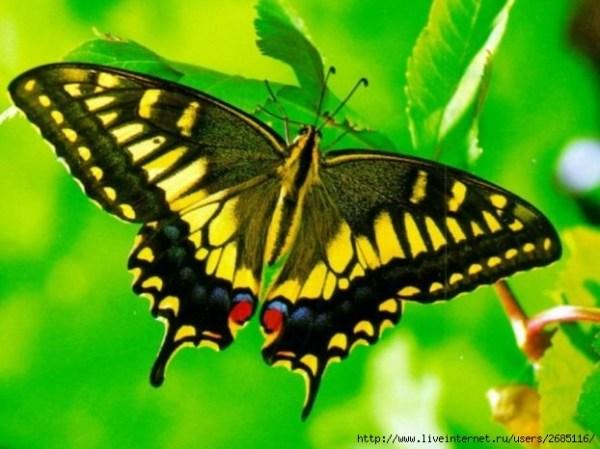 Красивые бабочки Обсуждение на LiveInternet Российский