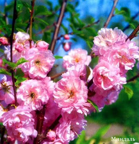 Экзотические цветущие деревья. Обсуждение на LiveInternet ...
