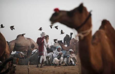 Индийская ярмарка верблюдов (фото)