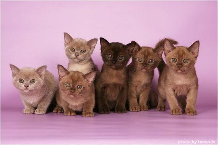 фото бурманские котята купить #11
