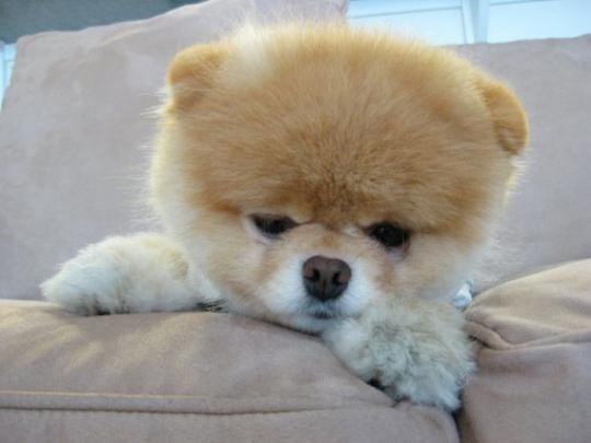 Как выглядит Бу, самая популярная собачка в Интернете (фото и видео)