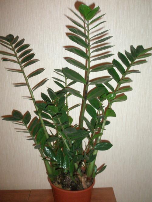 Шаровидные Комнатные Растения Названия И Фото