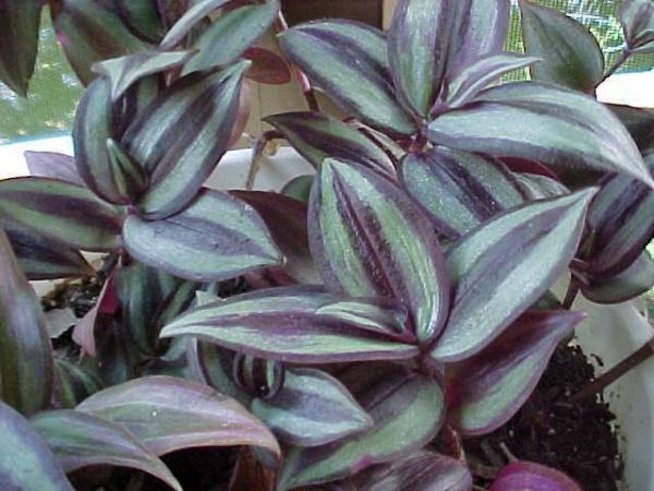 Растения Комнатные Названия Фото
