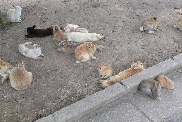 Японский остров Окуносима – настоящий кроличий рай