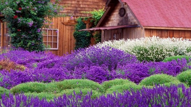 Как вырастить лаванду в саду
