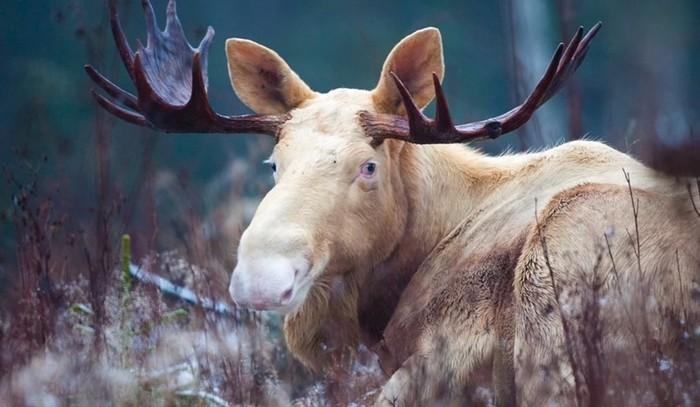 В Швеции по лесам гуляет белый Дух лося (видео)