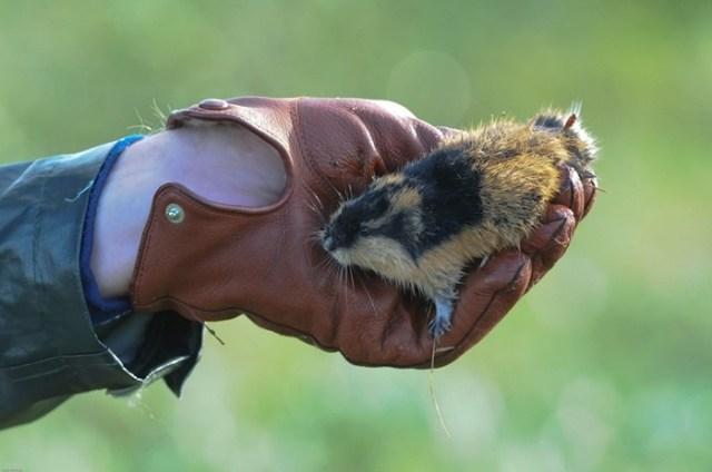 Кто такой лемминг? Почему маленький мышеобразный грызун кончает жизнь самоубийством