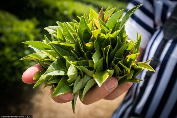 Как выглядят чайные плантации в Сочи