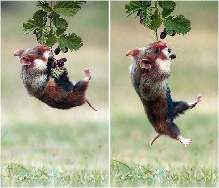 25 фотографий забавных хомяков, которые обязательно поднимут настроение