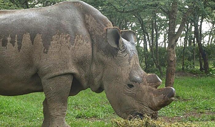 Последний в мире белый носорог слишком стар, чтобы иметь детей