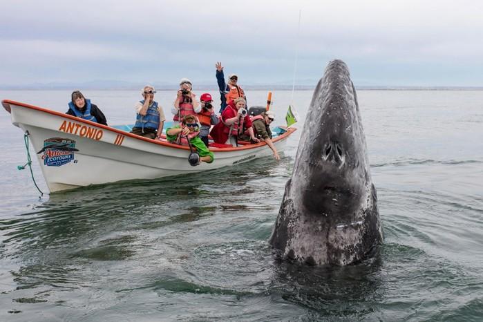 Фотографии самого дружелюбного кита из Тихого океана