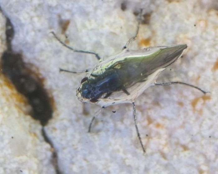 Мухи аквалангисты из США