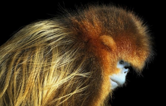 Портреты исчезающих животных на снимках Тима Флача