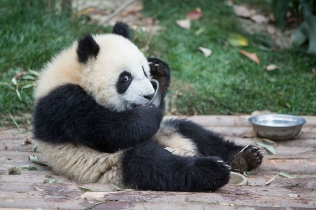 Питомник панд в Китае: место, где живет более 150 «бамбуковых медведей»