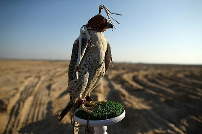 Соколиная охота в Арабских Эмиратах