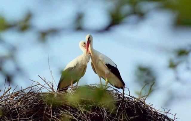 Преданный аист и его удивительная история любви к своей подруге
