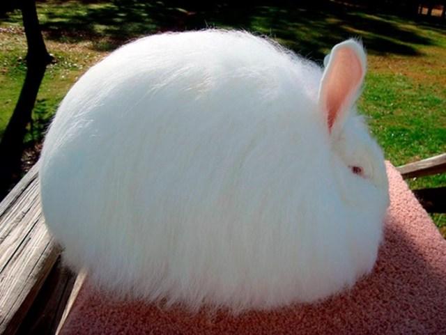 Ангорские кролики— рекордсмены среди пушистиков