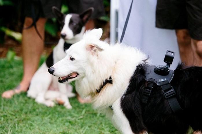 Свадьбу молодоженов снимал их верный пес: камера в лапках