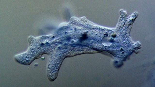 Что такое амеба? Студенистое одноклеточное существо животное