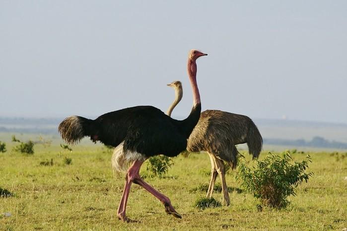 Откуда взялся миф о том, что страус закапывает голову в песок