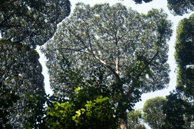 Застенчивость кроны: необычный природный феномен у некоторых деревьев