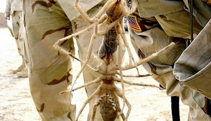 Фаланги сольпуги: «черные» легенды о верблюжьем пауке
