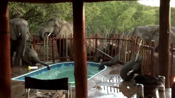 ВИДЕО: Целое семейство слонов выпило воду из бассейна