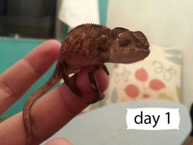 Хамелеоны— лучшие домашние животные среди рептилий
