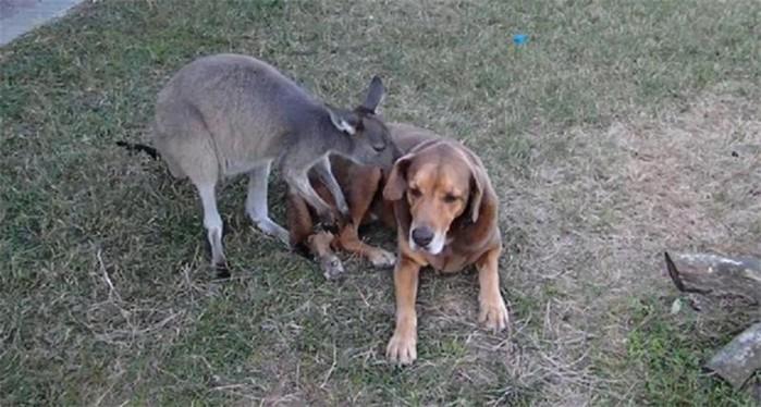 Кенгуру влюбилась в собаку: видео странной любви животных