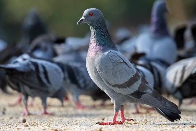 Голуби   совсем не миролюбивые птицы, вспыльчивые и агрессивные