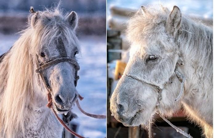 Уникальные якутские лошади могут выживать при экстремально низких температурах